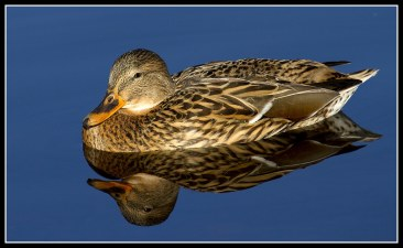 female mallard reflection on water