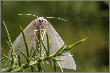 Barred Red Moth