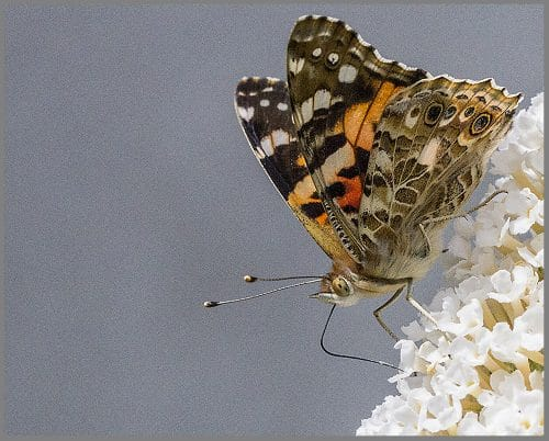 Painted lady 2 1000pixels