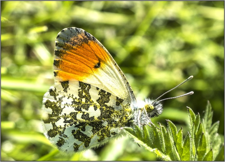 close up of male orange tip butterfly on canal towpath