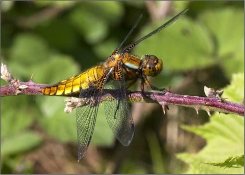 Broad-bodied chaser (female) at Myers Allotment