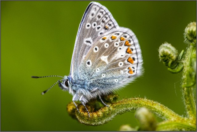 male common blue butterfly on fern