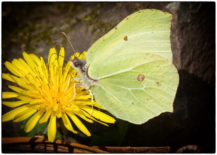 Brimstone butterfly MyersAllotment