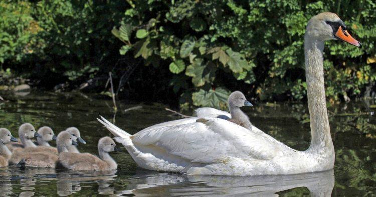 cygnets behind swan