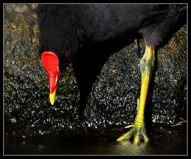 moorhen close up