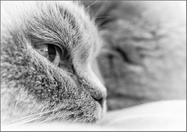 British Shorthair cat monochrome macro
