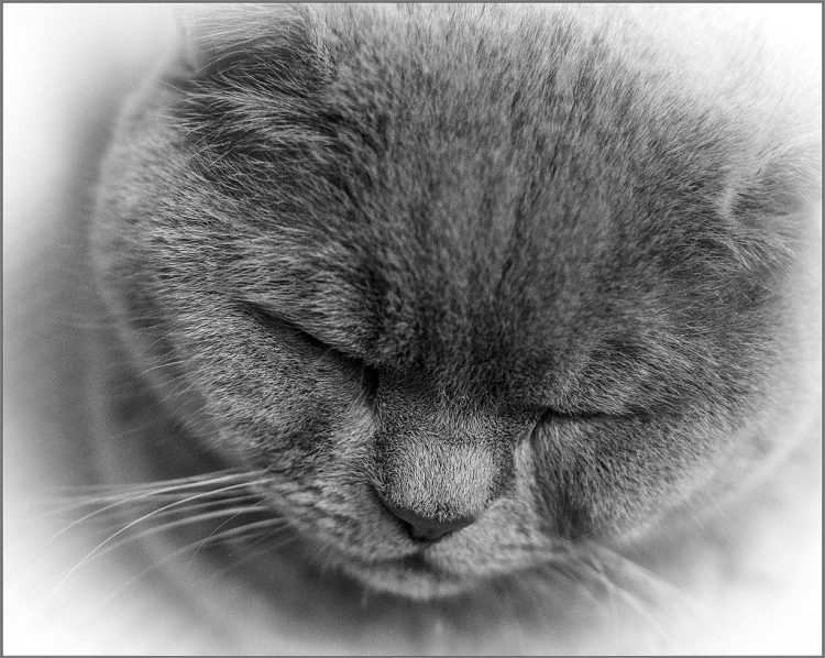 cat macro sleepy monochrome