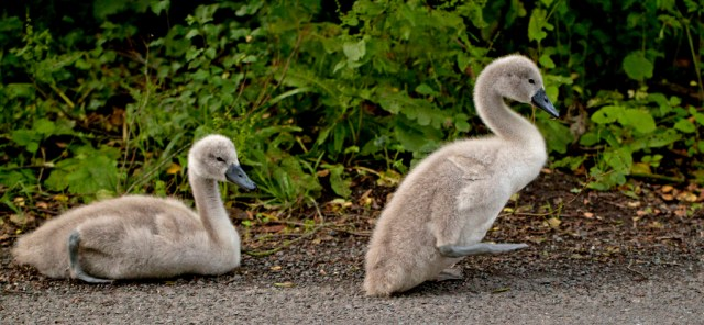 cygnets young mute swan