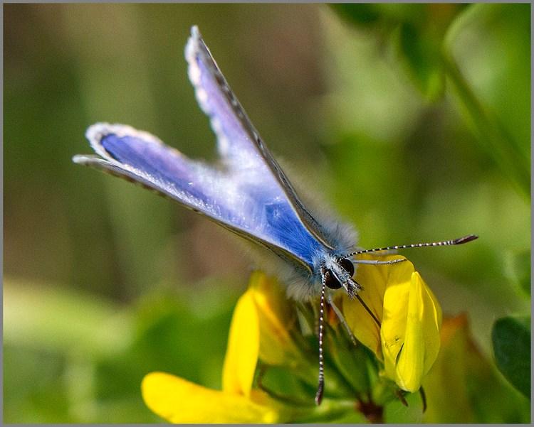 Common Blue macro butterfly birdsfoot trefoil