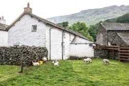 Seatoller Sheep