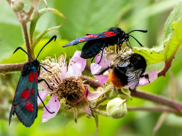Two Burnets and a Bee