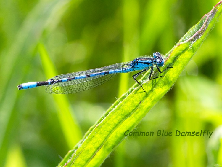 Common Blue Damselfly macro Brockholes