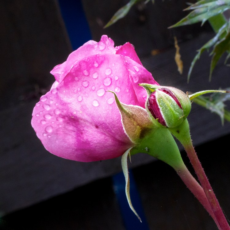 Rosebud macro detail garden flower