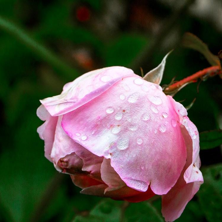 Pink Rose in Garden macro detail