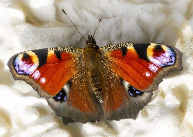Peacock butterfly macro
