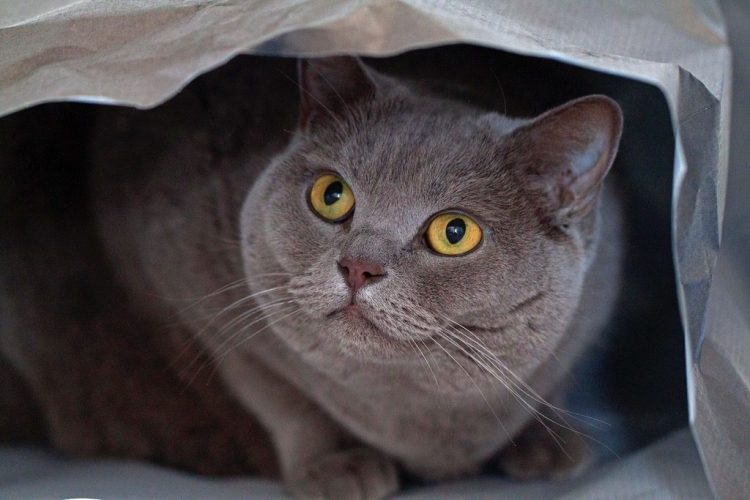 misty british shorthair cats