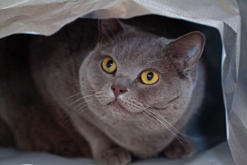 misty british shorthair cats