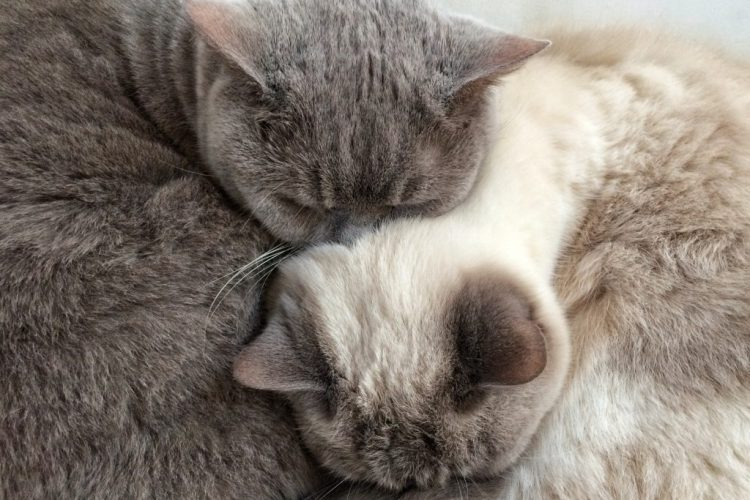 Yin and Yang british shorthair cats
