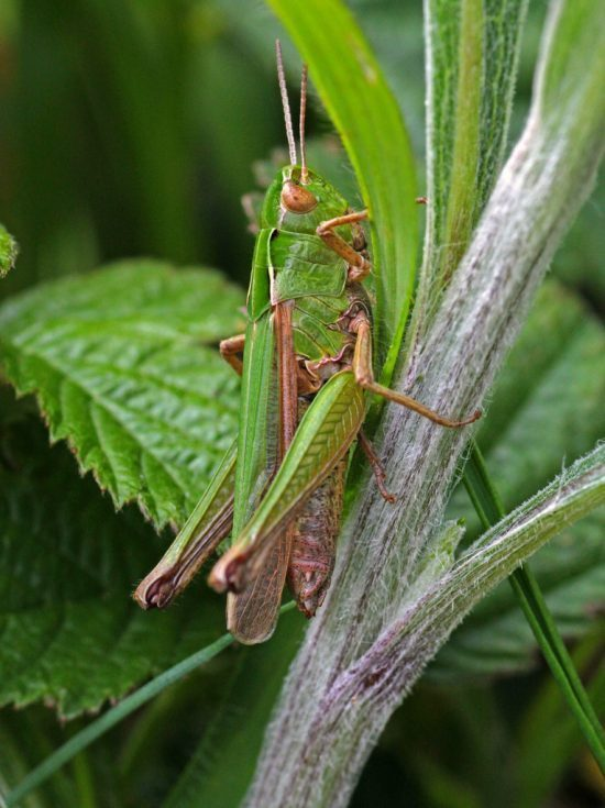 Grasshopper insect green macro