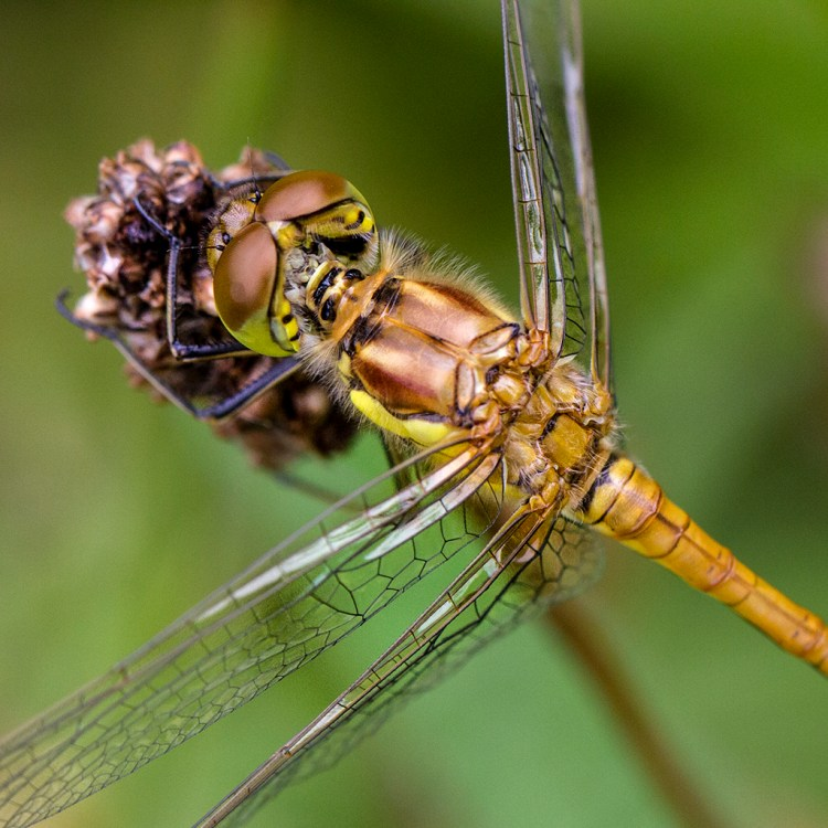 Brockholes Nature Reserve, Preston, macro, common darter dragonfly