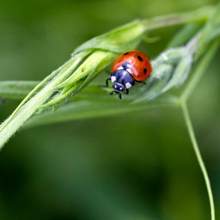 Brockholes Nature Reserve, Preston, macro, 7-Spot Ladybird