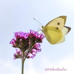 white butterflies UK Large White Butterfly macro mondays garden sky