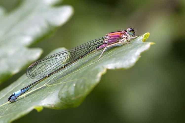 pink blue-tailed damselfly