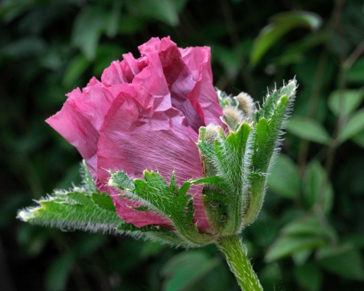 poppy emerging for Silent sunday