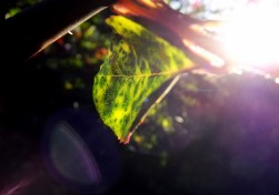 Just a leaf in the backyard of my home, but the afternoon sun here in Perth always gives everything a particularly striking glow. I often take little sessions in the evenings to take little snaps like this - you never know how a picture might turn out.