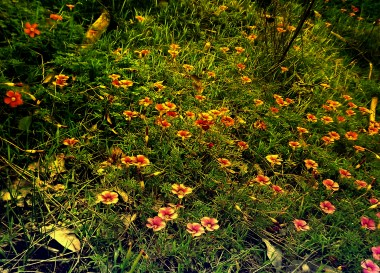 These flowers at Mundaring Weir (Western Australia) were so pretty I had to take a photo - in fact I had to take several! This one was originally so faded in term of colour that I took the liberty of editing what were pink flowers into orange ones.