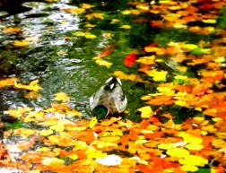 One little duck in France was having a wonderful swim in this golden pond - we don't really get an autumnal leaf-change here in Australia so the novelty of the bright orange leaves along with the sheer simplicity of the image sparked my aesthetic senses!