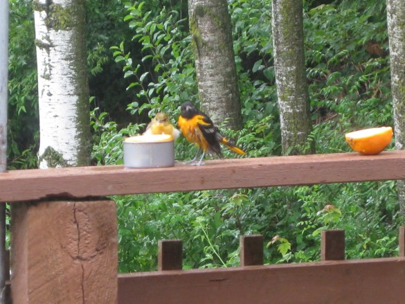 Daily visitors -- orioles and hummingbirds -- abound at my relatives' home near Chetek, Wisconsin.