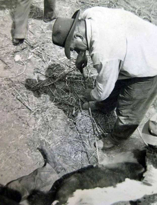 Grandpa Lute brands cattle in northeastern Montana in 1951 <br data-recalc-dims=
