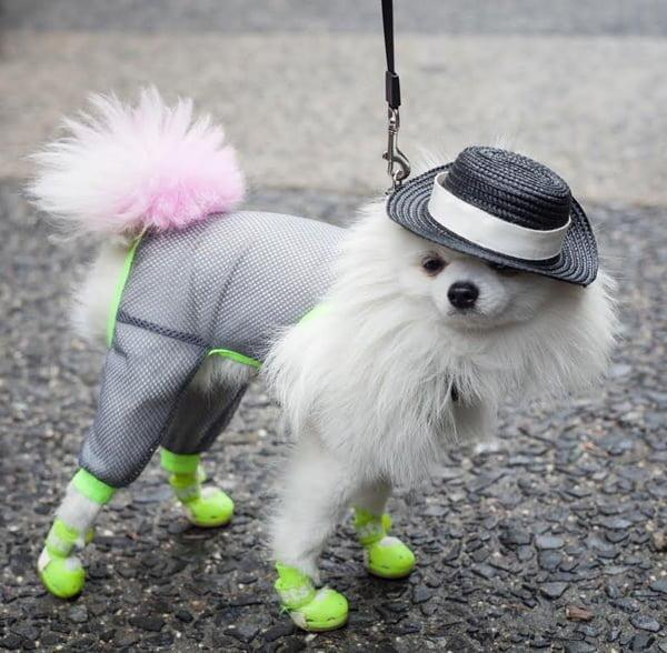 Zuzu, Fashionista Dog @ #NYFW – Spring 2016