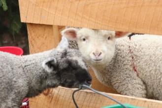 Lambs at Ensign Brook Farm, Photo courtesy David Arellanes, 2015