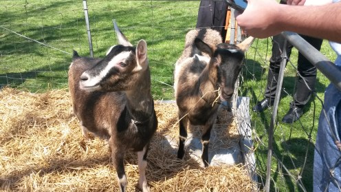 Goats, 2016