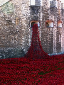 Tower poppies 16