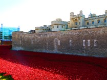 Tower poppies 5