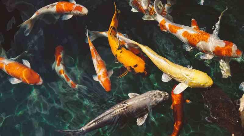 orange and white koi fish near yellow koi fish