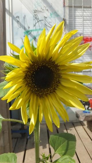 Helle Oase - Sonnenblume