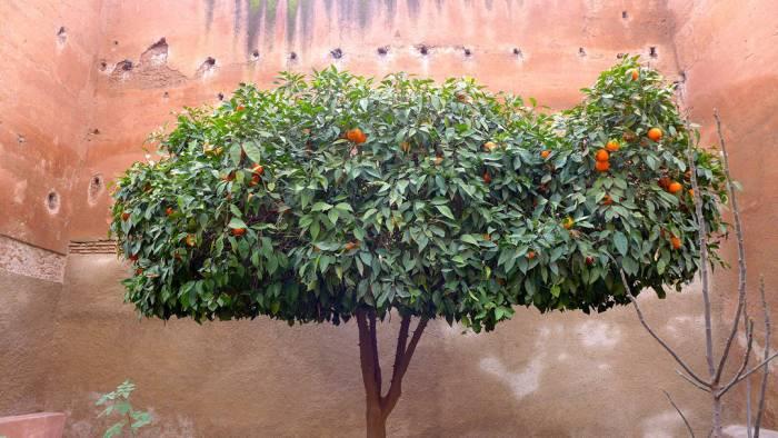 Appelsintre i Marrakech
