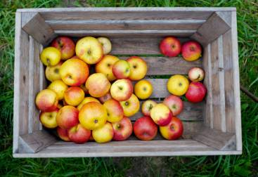 Discovery-eplene skal blandes med de søte Frida-eplene.