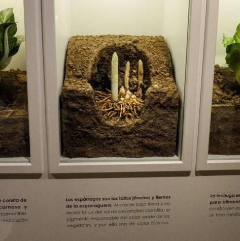 Slik vokser asparges opp av jorden