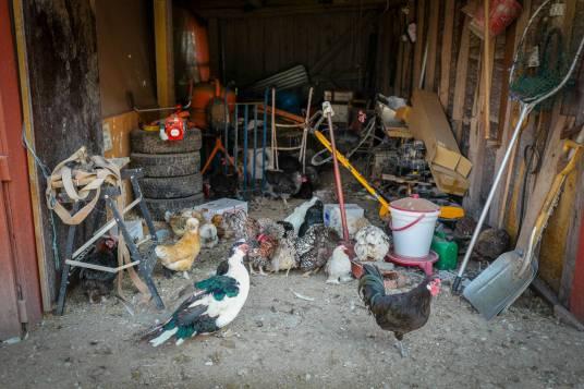 Høner i alle farger og fasonger tupper rundt på gården.