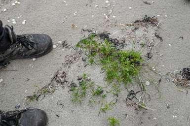 Ville vekster som grov ved havet smaker salt.