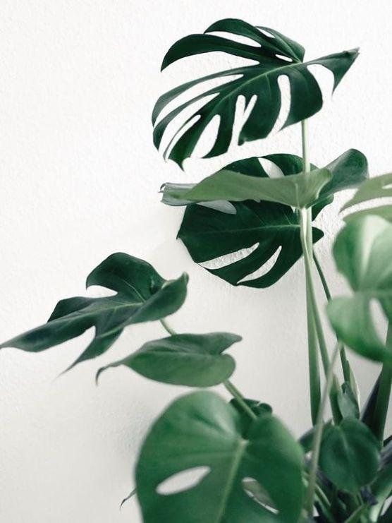 Philodendron © Ilenia Martini