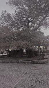 Reusachtige plataan op het centrale plein in Ohrid