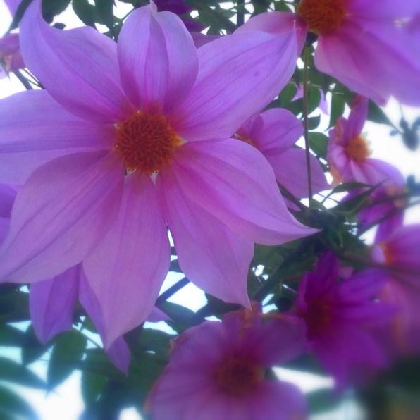 庭に咲く皇帝ダリア
