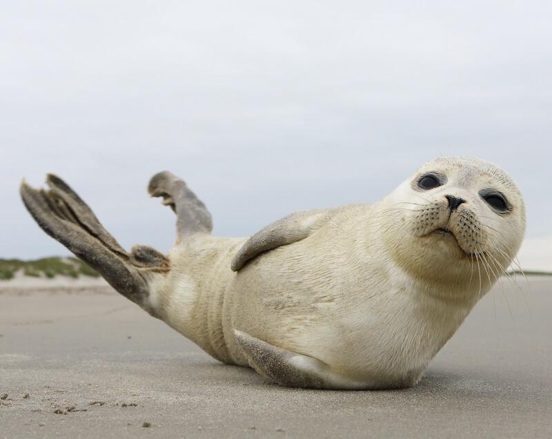 Zeehonden op Ameland