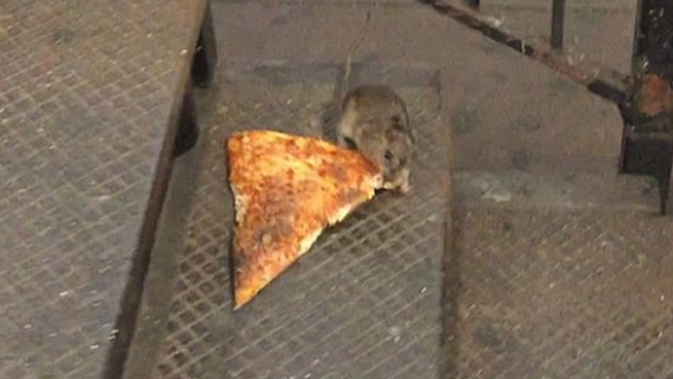 Image result for pizza rat
